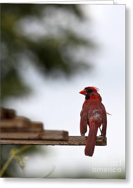 Cardinals. Wildlife. Nature. Photography Greeting Cards - Male Cardinal Bird Closeup Greeting Card by Brandon Alms