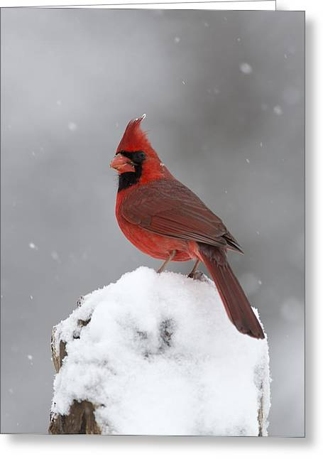 Male Cardinals In Snow Greeting Cards - Male Cardinal In Snow Greeting Card by Gerald Marella