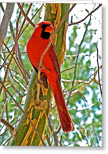 Az Cardinals Greeting Cards - Male Cardinal in Tucson Sonoran Desert Museum-Arizona Greeting Card by Ruth Hager