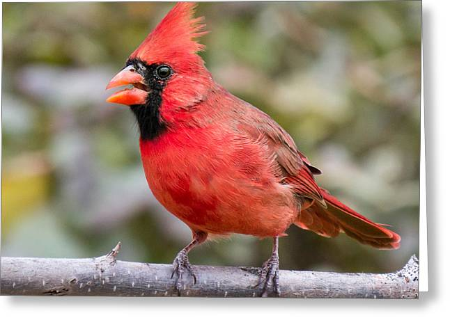 Minnesota Photographs Greeting Cards - male Cardinal Greeting Card by Jim Hughes