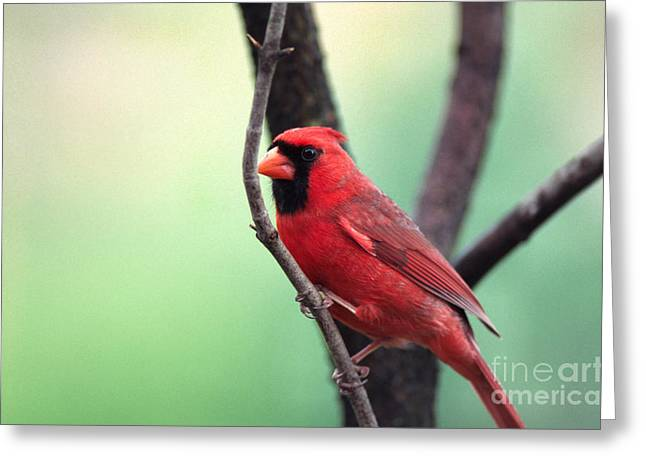 Cardinalis Greeting Cards - Male Cardinal Greeting Card by Thomas R Fletcher