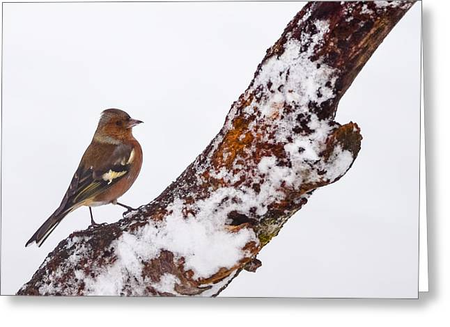 European Pyrography Greeting Cards - Male Common Chaffinch  on branch Greeting Card by Attila Simon
