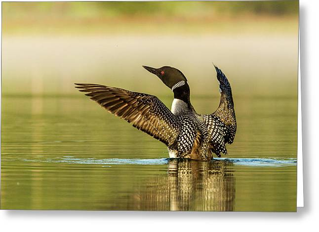 Male Common Loon Drying His Wings Greeting Card by Chuck Haney