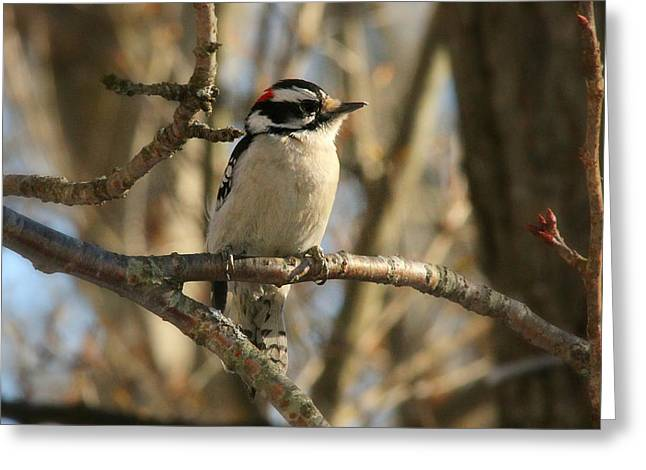 Downy Greeting Cards - Male Downy Woodpecker Greeting Card by Heidi Piccerelli