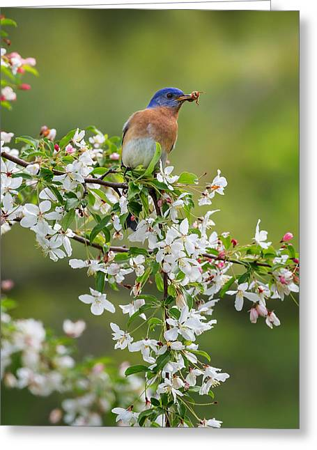 Birds With Flowers Greeting Cards - Male Eastern Bluebird Greeting Card by Bill  Wakeley
