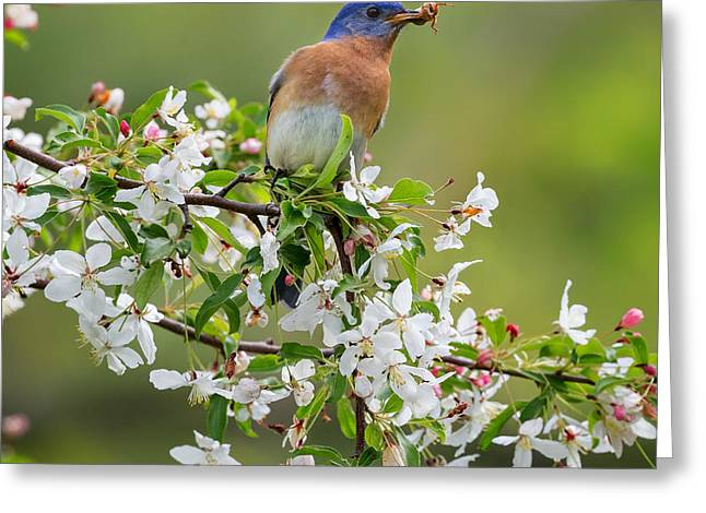 Birds With Flowers Greeting Cards - Male Eastern Bluebird Square Greeting Card by Bill  Wakeley