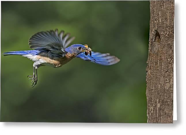 Invertebrates Greeting Cards - Male Eastern Bluebird Greeting Card by Susan Candelario