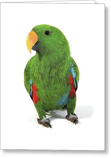 Australian Native Bird Greeting Cards - Male eclectus parrot Greeting Card by Science Photo Library