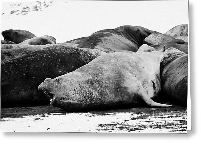 Elephant Seals Greeting Cards - male elephant seal in a colony hannah point livingstone island Antarctica Greeting Card by Joe Fox
