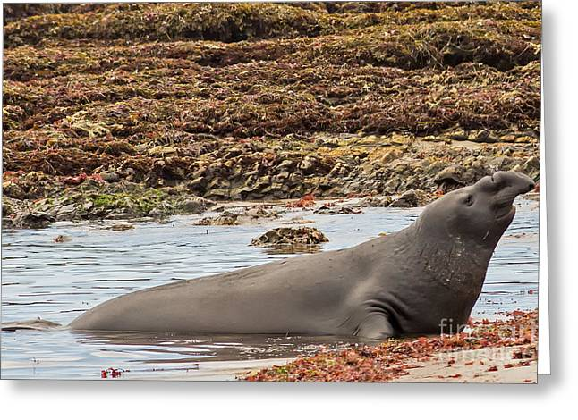 Ano Nuevo Greeting Cards - Male Elephant Seal in Ano Nuevo California State Park Greeting Card by Natural Focal Point Photography