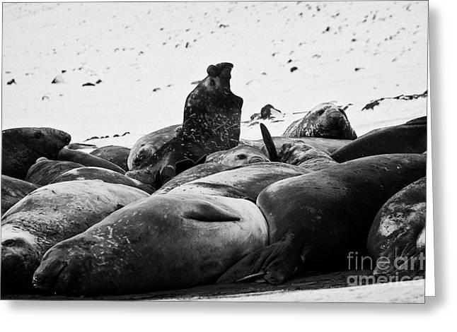 Elephant Seals Greeting Cards - male elephant seal roaring hannah point livingstone island Antarctica Greeting Card by Joe Fox
