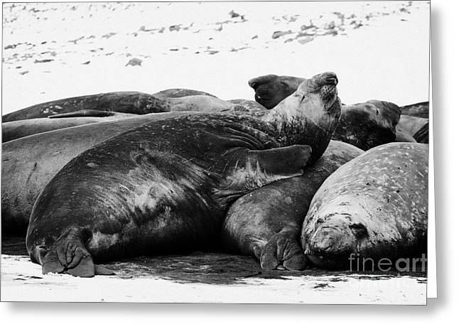Elephant Seals Greeting Cards - male elephant seal sleeping in a colony hannah point livingstone island Antarctica Greeting Card by Joe Fox