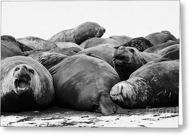 Elephant Seals Greeting Cards - male elephant seals hannah point livingstone island Antarctica Greeting Card by Joe Fox