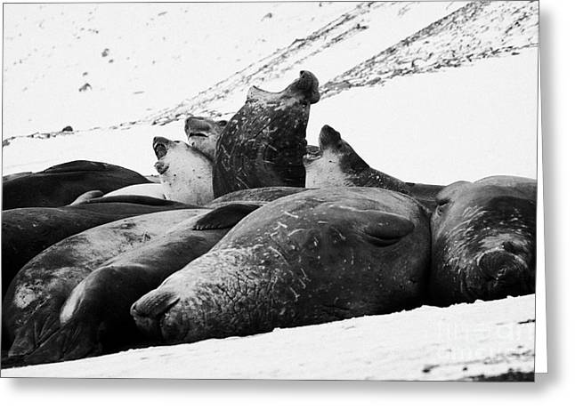 Elephant Seals Greeting Cards - male elephant seals roaring hannah point livingstone island Antarctica Greeting Card by Joe Fox