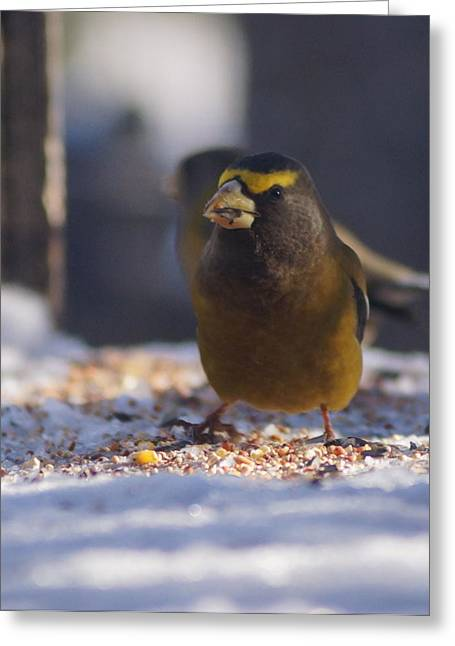 Snowy Evening Greeting Cards - Male Evening Grosbeak Greeting Card by Tracey Vivar