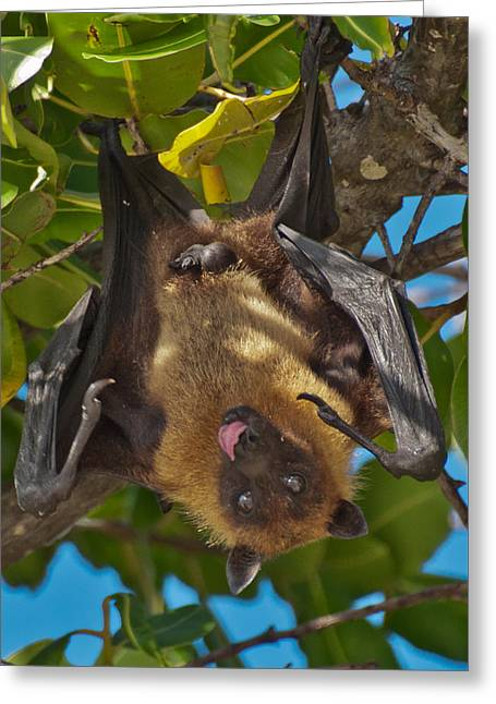 Flying Animal Greeting Cards - Male Fruit Bat or Flying Fox Greeting Card by Beth Wolff
