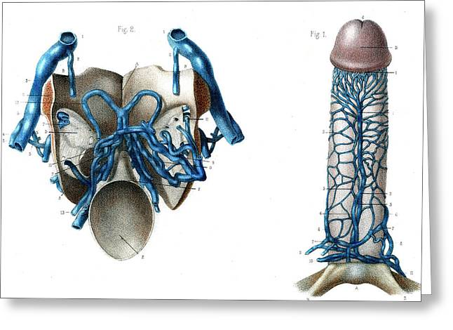 Male Genitals Blood Supply Greeting Card by Collection Abecasis