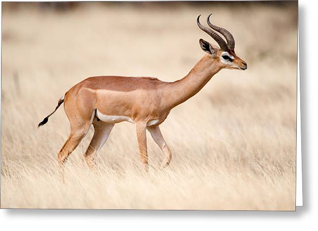 National Reserve Greeting Cards - Male Gerenuk Litocranius Walleri Greeting Card by Panoramic Images