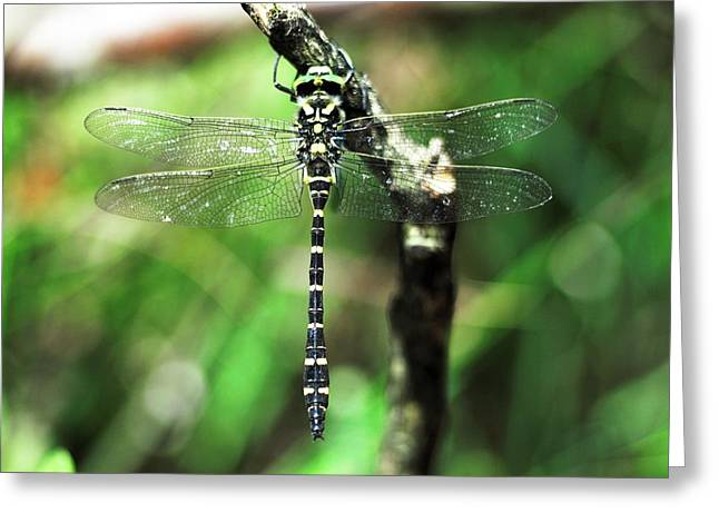 Male Golden-ringed Dragonfly Greeting Card by Colin Varndell