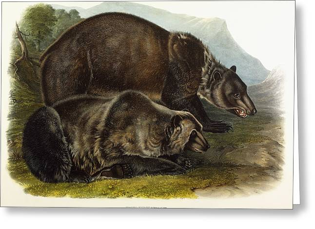 Hunting Drawings Greeting Cards - Male Grizzly Bear Greeting Card by Audubon