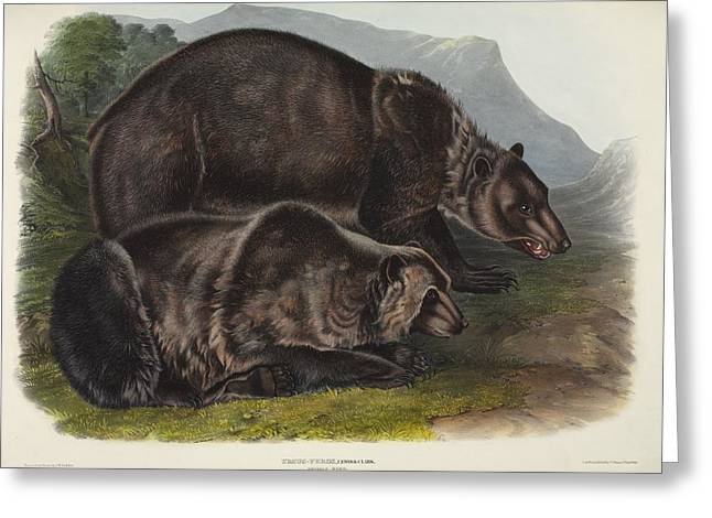 American Brown Bear Greeting Cards - Male grizzly bears, 19th century artwork Greeting Card by Science Photo Library