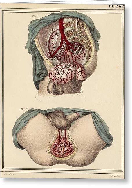Groin Greeting Cards - Male groin arteries, 1825 artwork Greeting Card by Science Photo Library