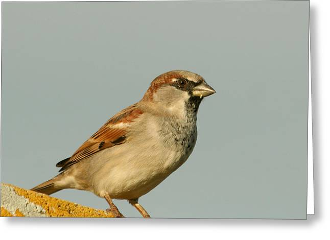 Sparrow Pyrography Greeting Cards - Male House Sparrow Greeting Card by Bob and Jan Shriner