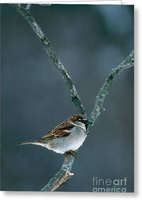 Sparrow Greeting Cards - Male House Sparrow Greeting Card by Larry West