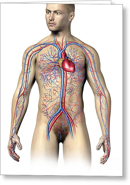 Three-quarter Length Digital Greeting Cards - Male Human Circulatory System, Upper Greeting Card by Leonello Calvetti