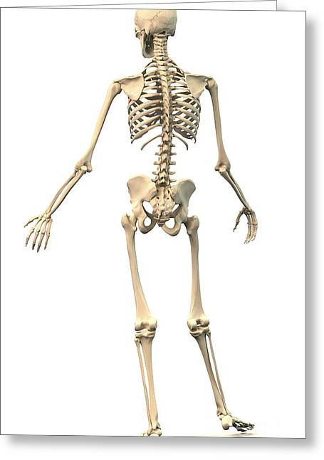Costae Fluitantes Greeting Cards - Male Human Skeleton In Dynamic Posture Greeting Card by Leonello Calvetti