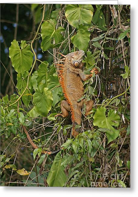 Rudi Prott Greeting Cards - male iguana from Costa Rica 3 Greeting Card by Rudi Prott