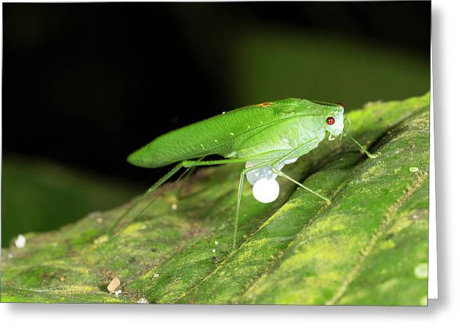 Male Katydid Producing A Spermatophore Greeting Card by Dr Morley Read