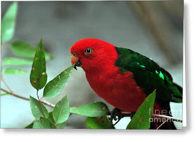 Large Breasts Greeting Cards - Male King Parrot Greeting Card by Kaye Menner