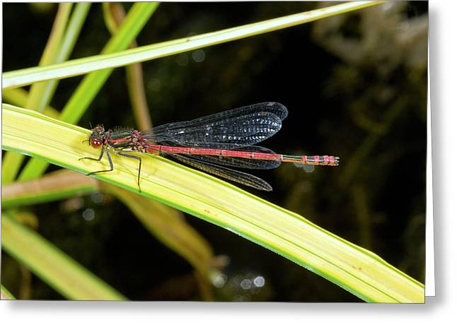 Male Large Red Damselfly Greeting Card by Bob Gibbons