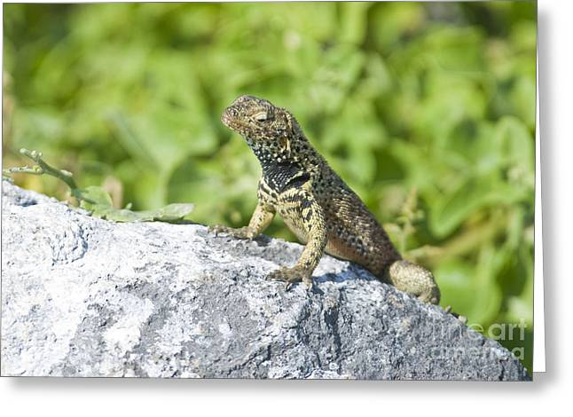 Galapagos Wildlife Greeting Cards - Male Lava Lizard Greeting Card by William H. Mullins