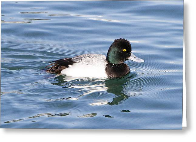 Water Fowl Pyrography Greeting Cards - Male Lesser Scaup Greeting Card by Shoal Hollingsworth