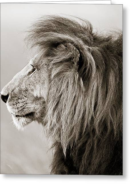 Tiere Greeting Cards - Male Lion III Masai Mara Kenya Greeting Card by Regina Mueller