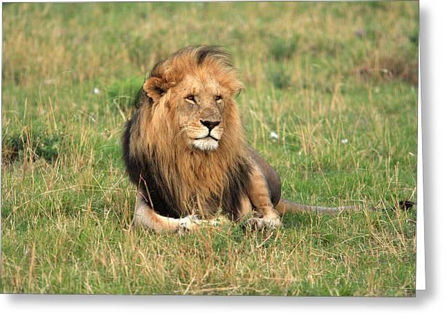 Male Lion On The Masai Mara Greeting Card by Aidan Moran