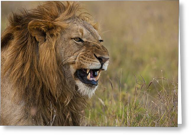 Simple Beauty In Colors Greeting Cards - Male Lion Snarling In Ol Pejeta Greeting Card by Ian Cumming