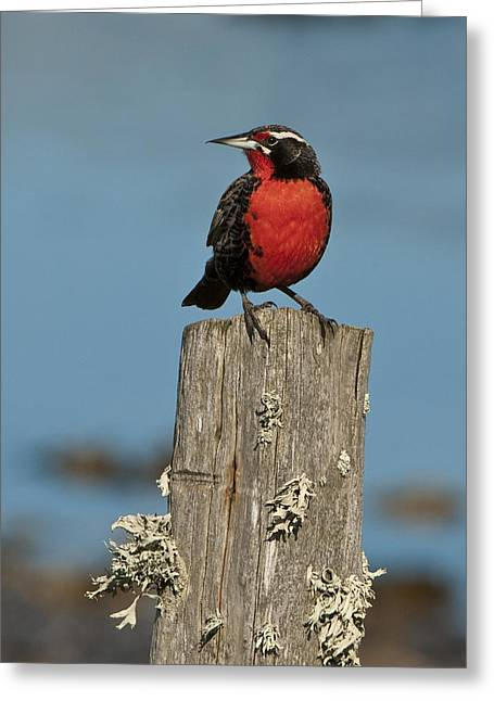 Male Long-tailed Meadowlark On Fencepost Greeting Card by John Shaw