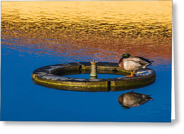 Anatinae Greeting Cards - Male Mallard Duck Greeting Card by Carolyn Marshall