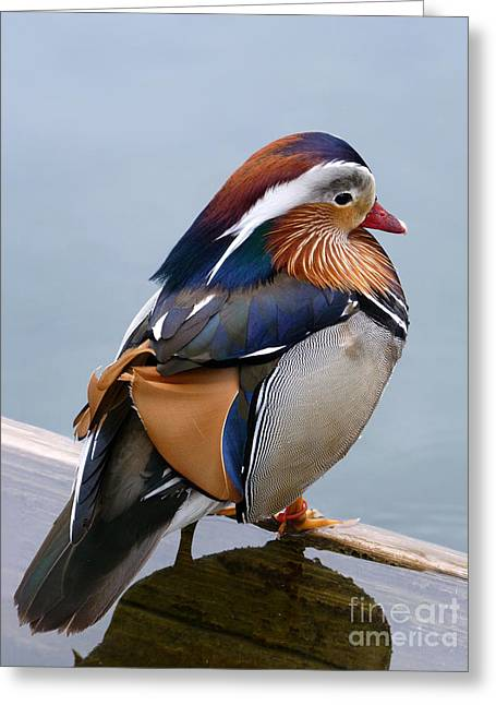 Water Fowl Greeting Cards - Male Mandarin Duck perching on submerged plank Greeting Card by Menega Sabidussi