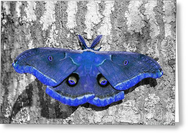 Al Wild Card Greeting Cards - Male Moth - Brilliant Blue Greeting Card by Al Powell Photography USA