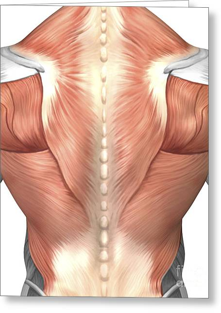 Biomedical Illustrations Greeting Cards - Male Muscle Anatomy Of The Human Back Greeting Card by Stocktrek Images