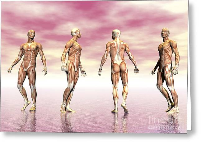 Biomedical Illustrations Greeting Cards - Male Muscular System From Four Points Greeting Card by Elena Duvernay