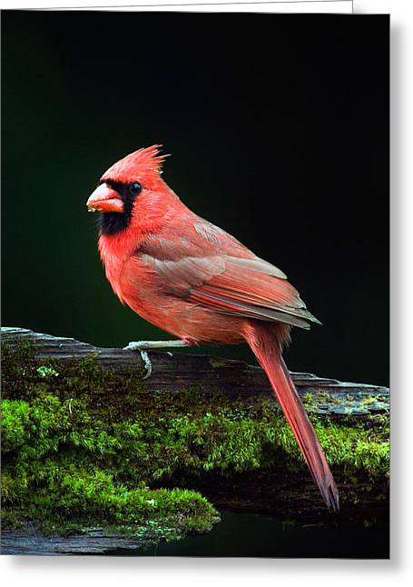 Male Northern Cardinal Greeting Cards - Male Northern Cardinal Cardinalis Greeting Card by Panoramic Images