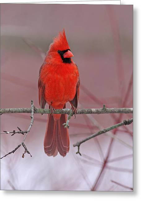 Jim Nelson Greeting Cards - Male Northern Cardinal Greeting Card by Jim Nelson