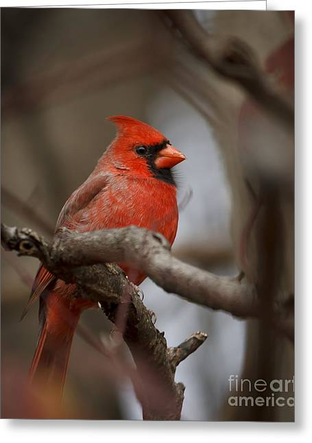 Male Pyrography Greeting Cards - Male Northern Cardinal Greeting Card by Rebecca Brooks