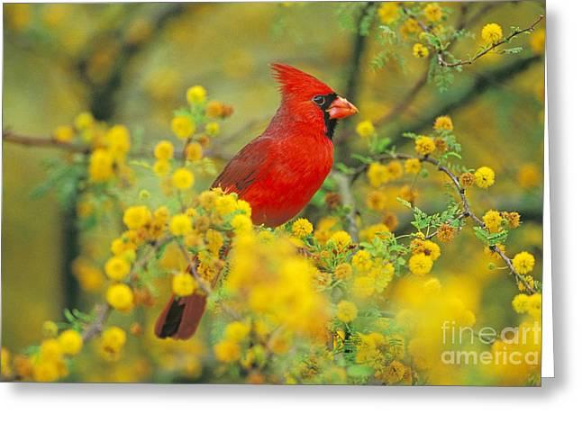 Tree. Acacia Greeting Cards - Male Northern Cardinal Greeting Card by Thomas and Pat Leeson