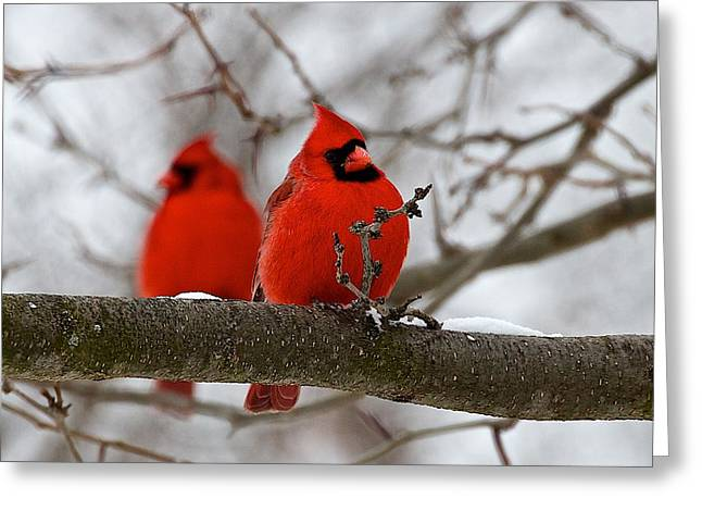 Northern Cardinal Photo Greeting Cards - Male Northern Cardinals Greeting Card by Dan Ferrin